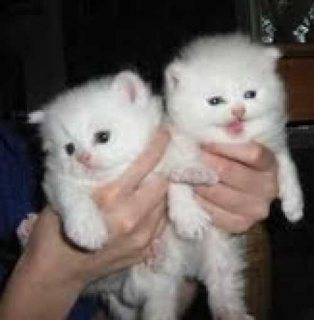 White Persian Kittens for adoption