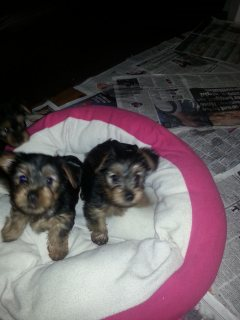 Yorkie Puppies Males & Females