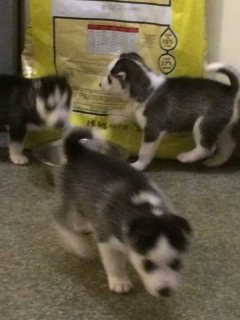 Stunning litter of Husky puppies