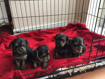 cute Yorkshire terrier puppies for re-homing