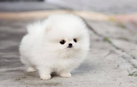 Awesome Teacup POMERANIAN Available