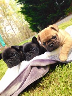 Akc Registered French Bulldog Puppies Available For Adoption