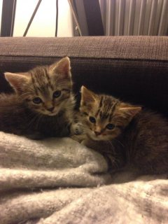 2 beautiful bengal kittens for for adoption