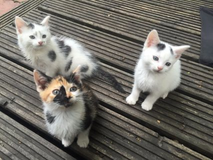 3 beautiful ragdoll kittens  cute for adoption