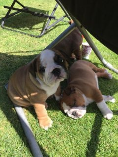 British bulldogs for sale KC registered