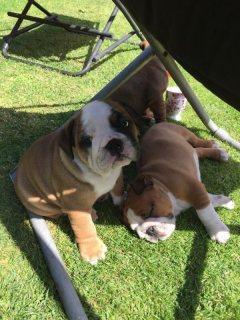 British bulldogs for sale KC registered