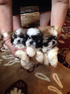 Beautiful shihtzu puppies
