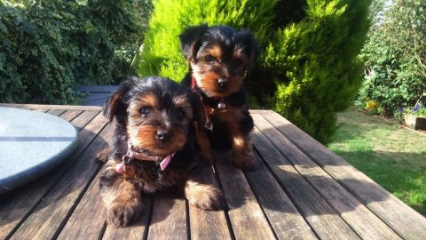 Yorkshire terrier ready to go