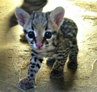 African Servals and Ocelot kittens