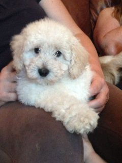 صور Purebred Poodle Puppies for adoption 1