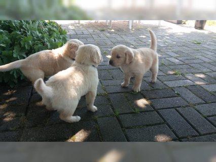 Golden Retriever puppies good for adoption
