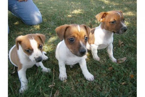 Adorable  Male and Female Jack-Russell Puppies available for Con