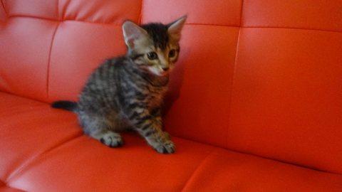 bengal kitten for sale.