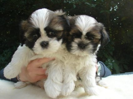 Adorable Shih Tzu Puppy looking for a new home.