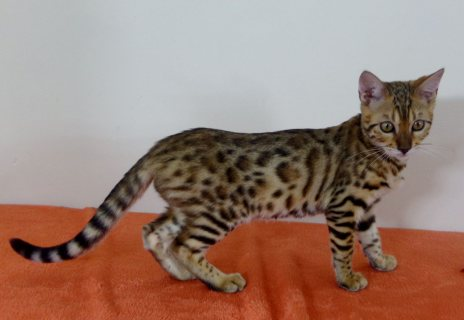 Cute male And Female Bengal kitten For Free Adoption