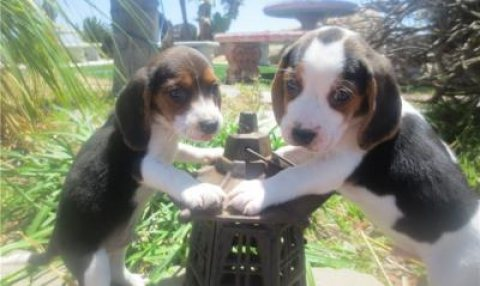 Beagle Puppies For A New Home