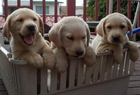 Healthy golden retriever Puppies For Adoption