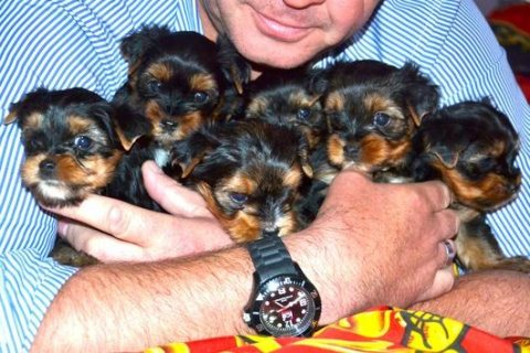 Cute pure breed male and female yorkshire puppies for sale