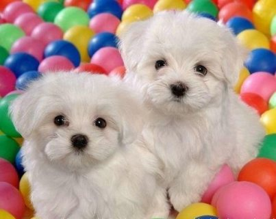 Maltese puppies available.