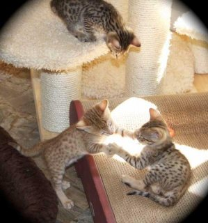 صور Savannah kittens registered 1