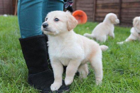 Gift golden retriever puppies