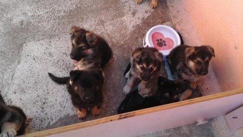 German shepherd cute for adoption