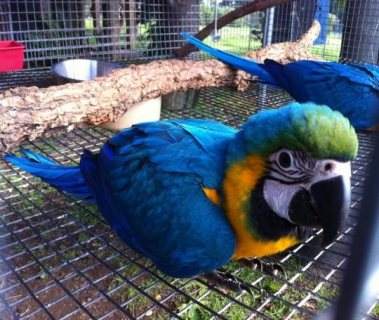 Adorable male and female Scarlet Macaw Parrots