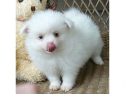 Beautiful pomeranian puppies ready to go to their new homes now.