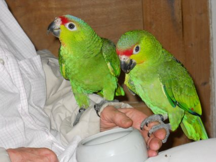 adorable Amazon parrots for Adoption