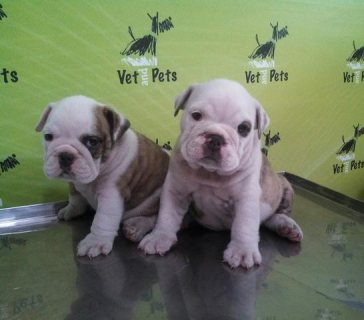 English Bulldog females available