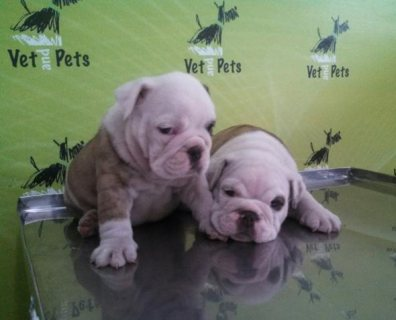 English Bulldog male and females available