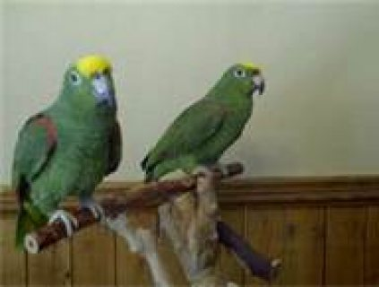 صور cute green parrots for adoption 1