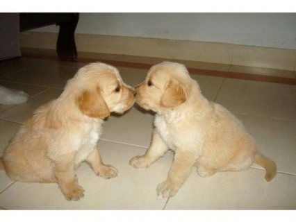 we are giving our cute Golden Retriever puppies