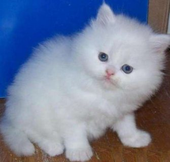 White adorable male and female Teacup Persian kitten ready for s