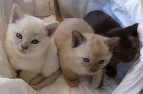 صور Pure Bred Burmese kittens Ready For Good Homes Now 1