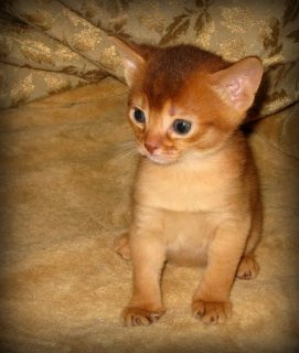 Abyssinian kittens for adoption./