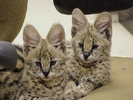 صور two beautiful Serval kittens for sale/./. 1