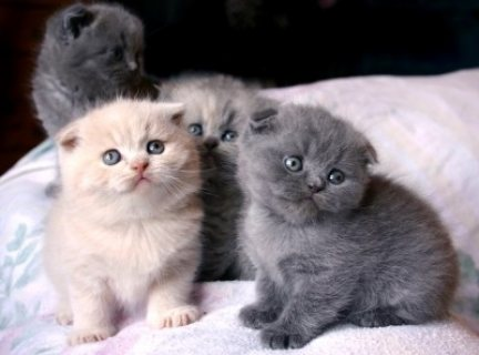 صور Beautiful male and female Scottish Fold Kittens for sale/../ 1