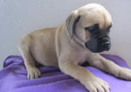 We are offering our English Bull Mastiff Puppies for sale