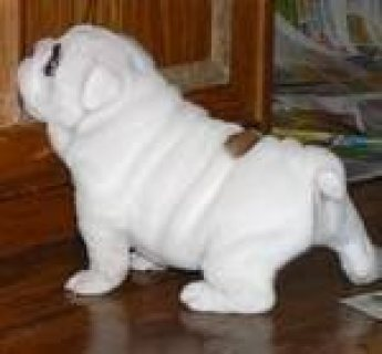 Adorable English bulldog puppies for rehoming //./..//.