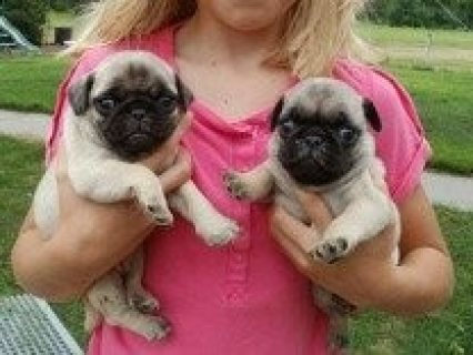 صور Sweet male and female Pug Puppies for Sale 1