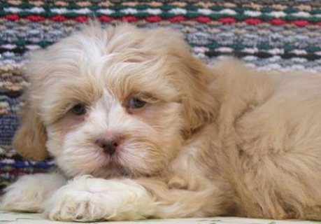 صور Lhasa Apso puppies for Adoption.great looking puppies that are g 1