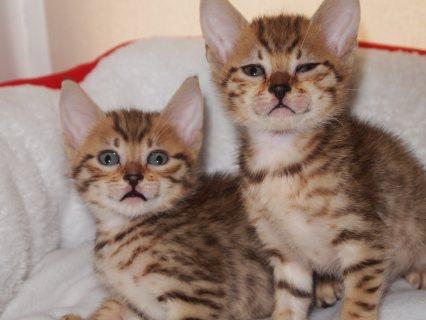 Wonderful  Egyptian Mau Kitten for Adoption