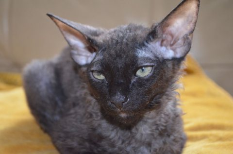 Wonderful Sphynx kittens Available For Adoption