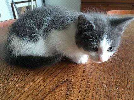 Smart Tica register Ragdoll kittens for Adoption