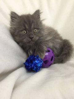 kitten for free adoption now