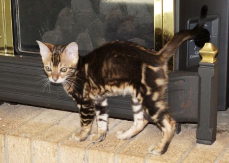 Great Bengal Kittens Available for Adoption