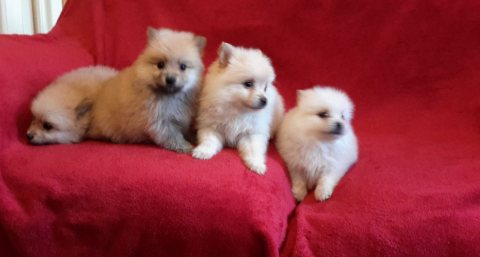 Two Awesome T-Cup Pomeranian Puppies for Adoption