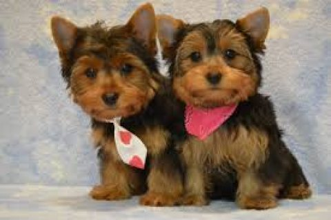 Registered Teacup Yorkie Puppies For Re-Homing