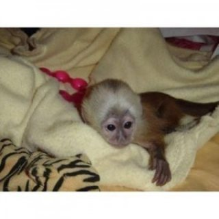 صور Lovely 10 weeks old capuchin Monkeys for sale 1
